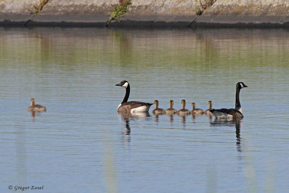 Auf einem Filterbecken schwimmen derweil schon 3 Kanadagansfamilien....am 26.05.17 Foto: Gregor Zosel