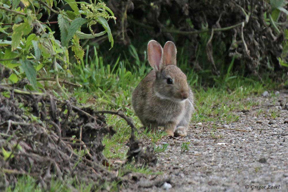 An der Kaninchenburg im Hammer Wasserwerk spielen nun die jungen Kaninchen miteinander fangen. Nur zwischendurch gönnen sie sich mal eine kleine Pause.....am 05.07.17 Foto: Gregor Zosel