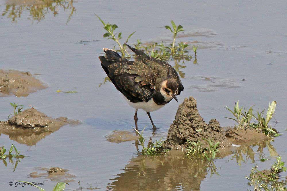Sowohl in dieser Gruppe als auch im Hammer Wasserwerk konnte ich lediglich jeweils 1 dj. Jungvogel entdecken....am 04.07.17 Foto: Gregor Zosel