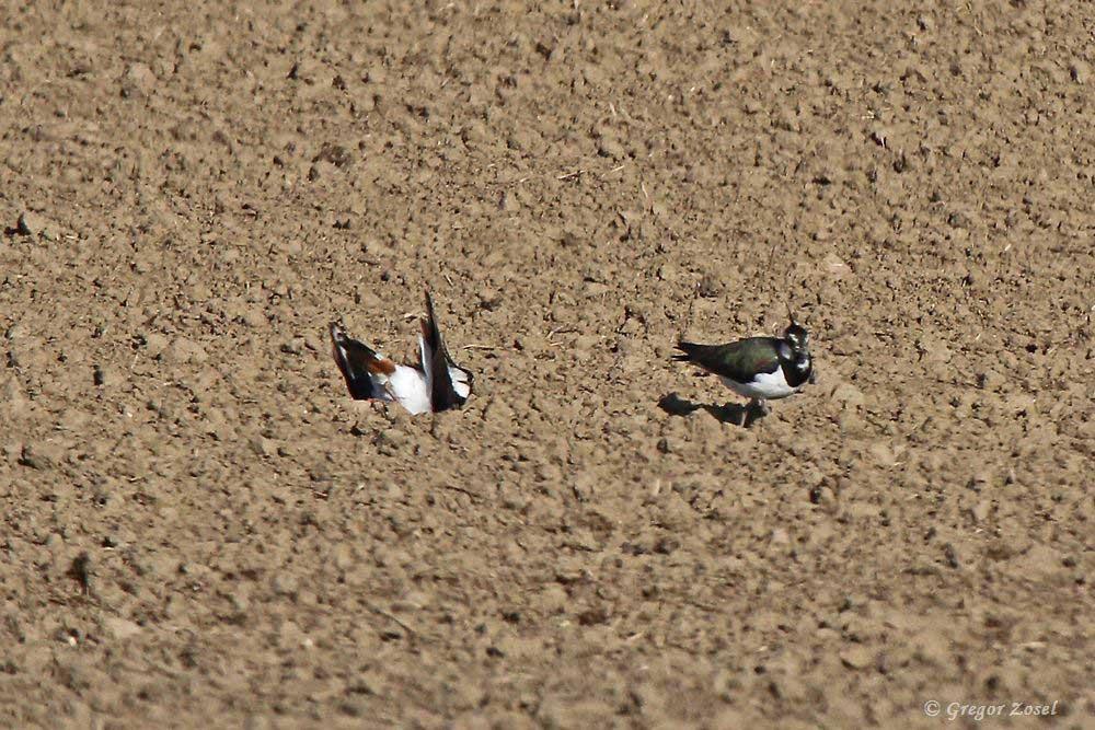 Auf dem Feld an der Alten Eiche wird bei den Kiebitzen wieder heftig gebalzt.Vielleicht klappt es ja mit einer zweiten Brut!....am 14.05.17 Foto: Gregor Zosel
