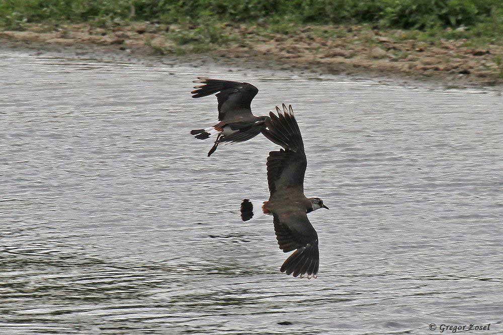 Bei den fliegenden Kiebitzen sind nun deutlich die Mauserlücken zu erkennen......am 24.06.17 Foto: Gregor Zosel