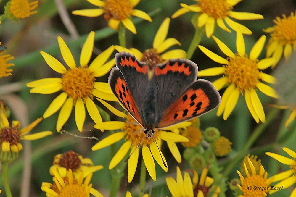 Der Kleine Feuerfalter, dessen Raupen sich  hauptsächlich vom Ampfer ernähren, gehört zu den auffälligeren Schmetterlingsarten in der Fröndenberger Ruhraue.....am 05.07.17 Foto: Gregor Zosel