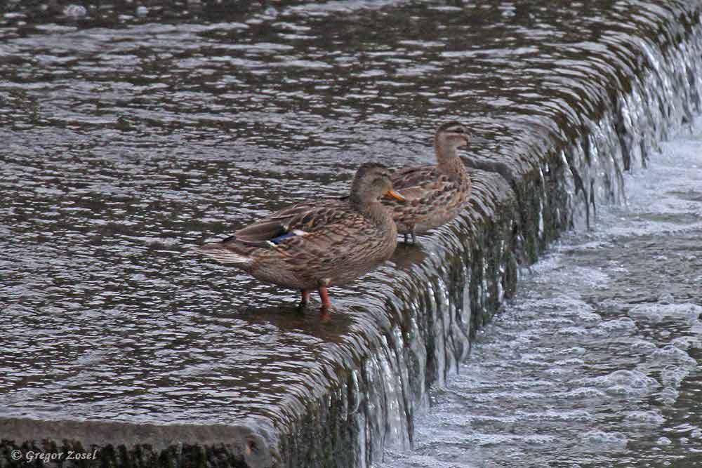 Unter den Stockenten am Wehr entdeckte ich eine deutlich kleinere Ente, die ich als Knäkente ansprach....am 27.09.17 Foto: Gregor Zosel