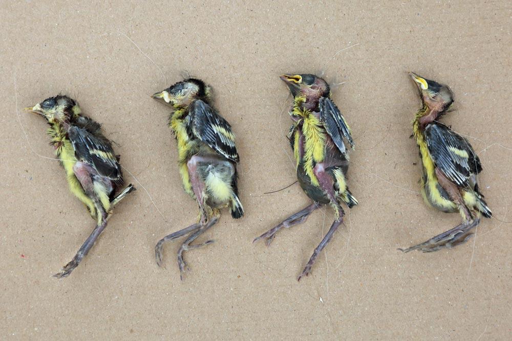 ... wie schon im Vorjahr scheint es die jedoch nicht zu geben - hier sind in einem 6er-Gelege (in guten Jahren werden auch 12 Eier gelegt!) 4 fast erwachsene Kohlmeisen vermutlich verhungert, 1 Ei entwickelte sich nicht - nur 1 Junges lebt noch und wird von beiden Altvögeln versorgt, 14.05.2017 Foto: Bernhard Glüer