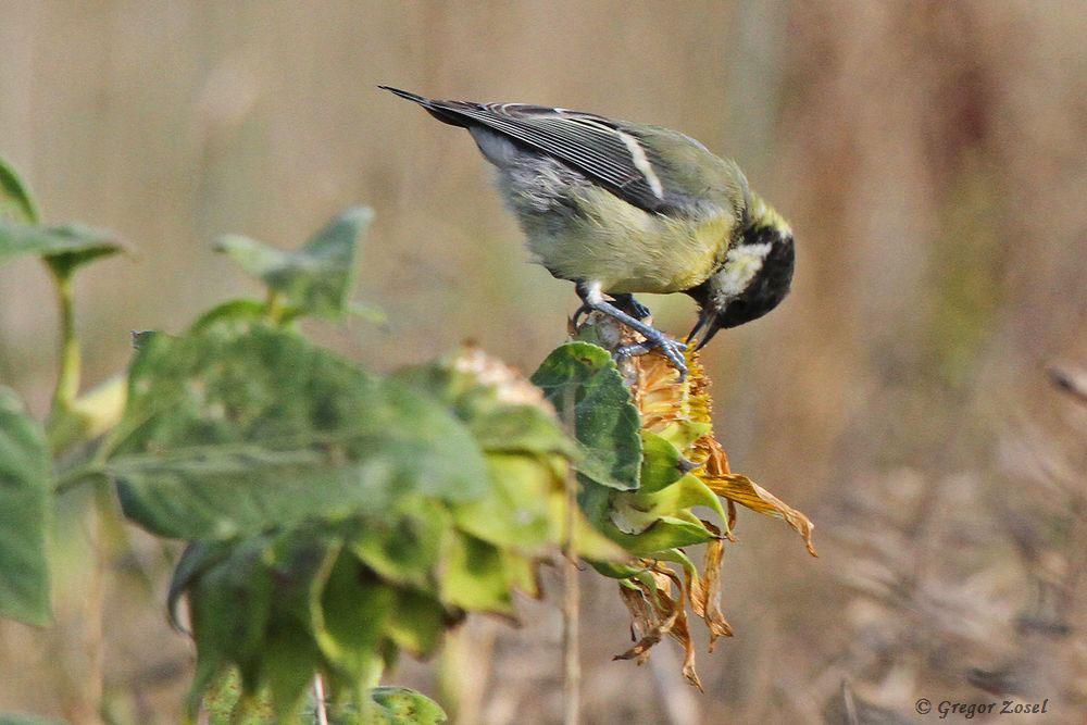 In den angelegten Wildäckern war heute früh reges Vogelleben. Einige Kohlmeisen suchten in den Sonnenblumen nach Nahrung......am 25.08.17 Foto: Gregor Zosel