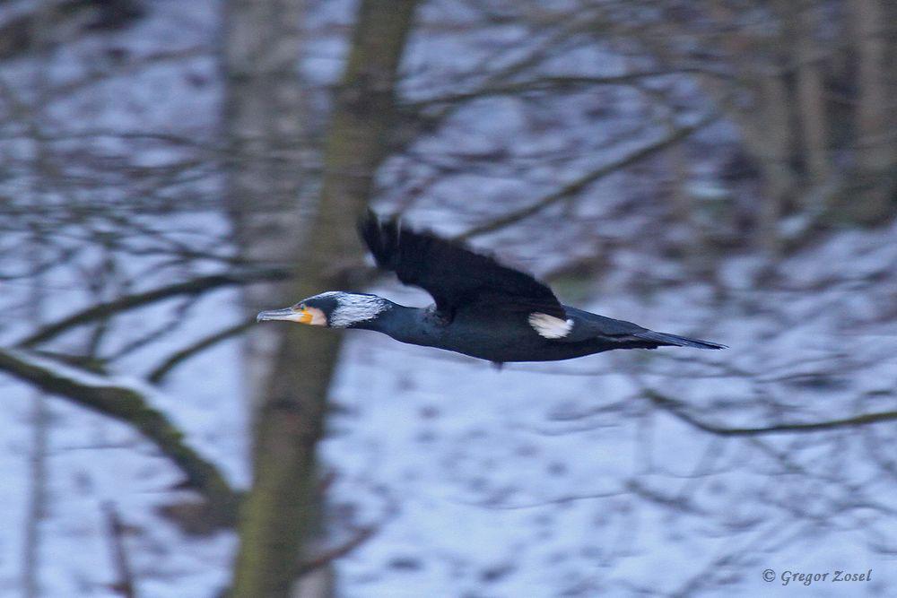 Kormoran überfliegt die Winterlandschaft.....am 22.01.17 Foto: Gregor Zosel
