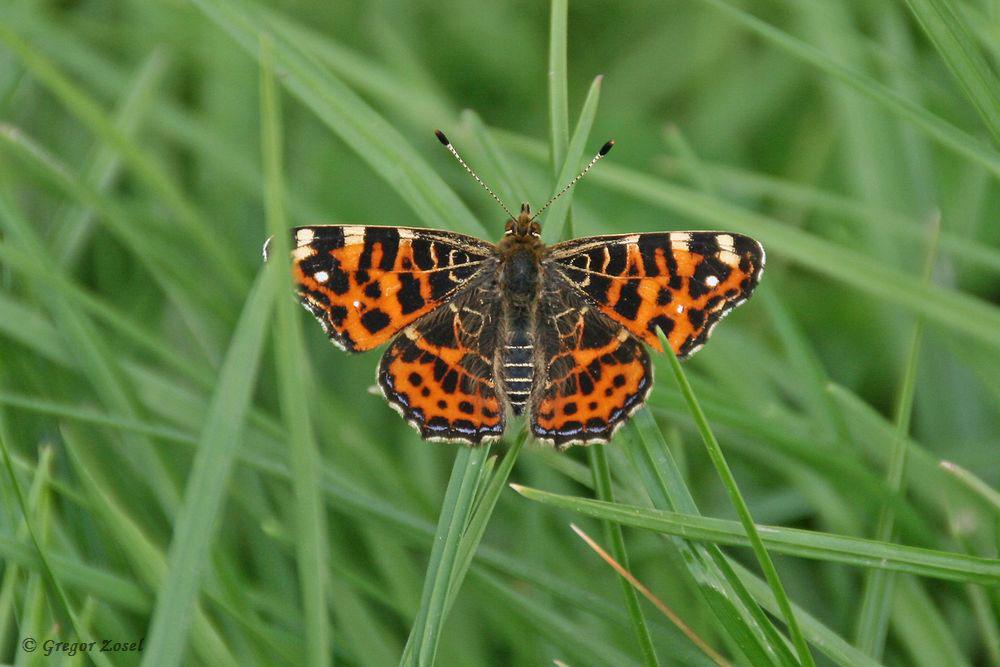 Nun werden langsam die Insektenbeobachtungen direkt am Wegesrand auch interessant.Hier ein Landkärtchen auf der Kiebitzwiese.....am 16.05.17 Foto: Gregor Zosel