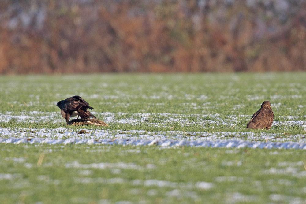 Vogelfütterung einmal anders: ein totgefahrener Feldhase aufs angrenzende Feld gelegt lockt schon bald hungrige Gäste an (Hemmerde), 22.01.2017 Foto: Bernhard Glüer