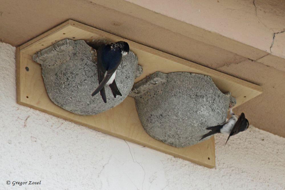 Erstaunlich, dass schon im ersten Jahr die künstliche Mehlschwalbenkolonie am Trafohäuschen der Stadtwerke so gut angenommen wird. Bereits mindestens 3 Nester werden angeflogen. ....am 05.07.17 Foto: Gregor Zosel