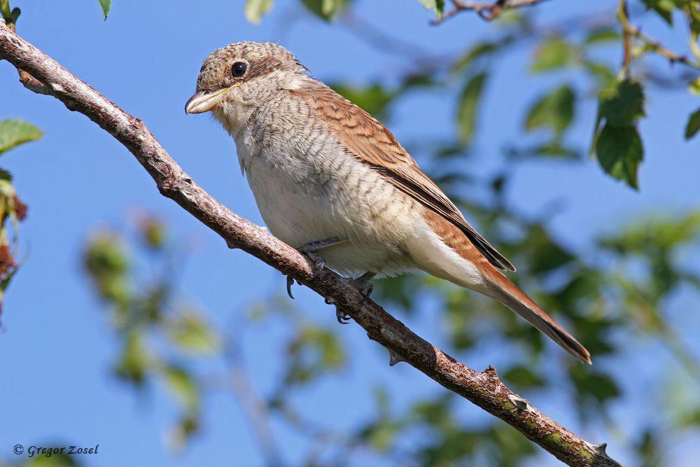 Bei einigen Paaren sind die Jungvögel schon flügge, werden aber noch von den Eltern versorgt.....am 18.07.17 Foto: Gregor Zosel