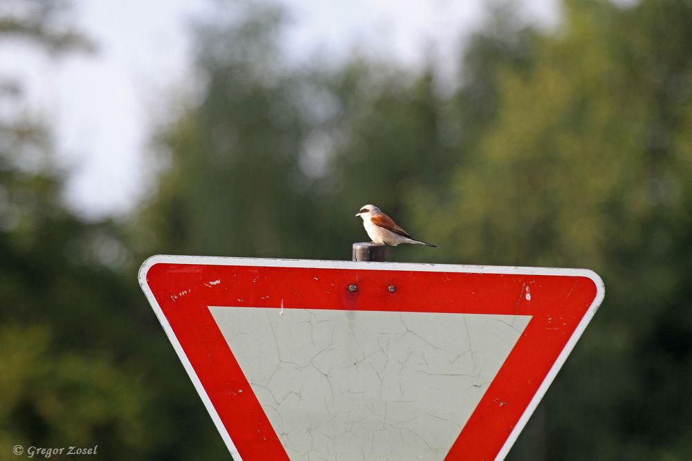 Zwischenstop auf einem Verkehrsschild, bevor der Weiterflug zum Brutplatz startet.....am 19.07.17 Foto: Gregor Zosel