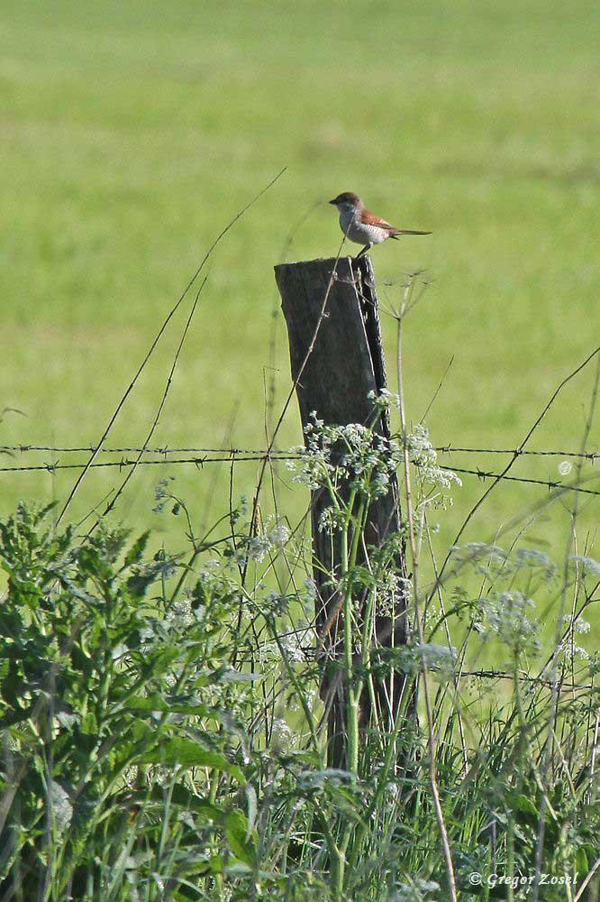 Auch das Weibchen wechselt immer wieder zur Kiebitzwiese.....am 20.05.17 Foto: Gregor Zosel