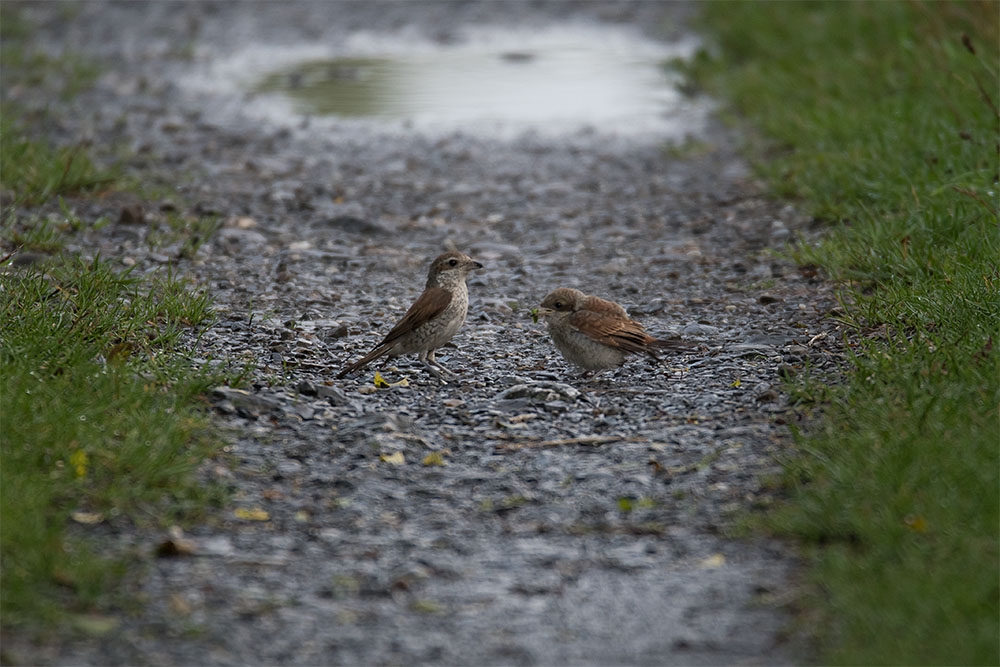 Neuntöter, links das fütternde Weibchen, rechts ein flügger Jungvogel; die beigen Spitzen der Schirmfedern sind ein sicheres Bestimmungsmerkmal für einen Jungvogel...am 23.07.2017 Foto: Marvin Lebeus