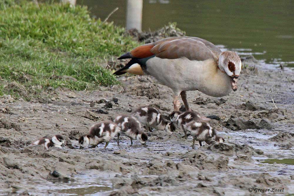 Die Nilgänse, die auf dem Storchenmast gebrütet haben, führen nun ihre 6 Junge aus.....am 29.04.17 Foto: Gregor Zosel