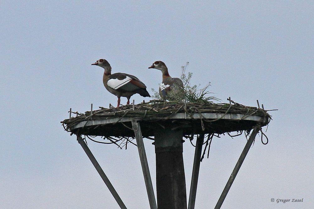 Frühlingsgefühle bei den Nilgänsen.Heute stritten 2 Paare um den Storchenmast....am 31.10.17 Foto: Gregor Zosel