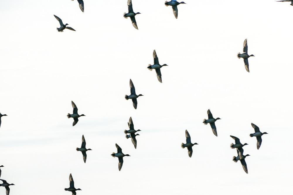 Einfliegende Pfeifenten im Ruhrtal, 01.02.2017 Foto: Hans Joachim Göbel