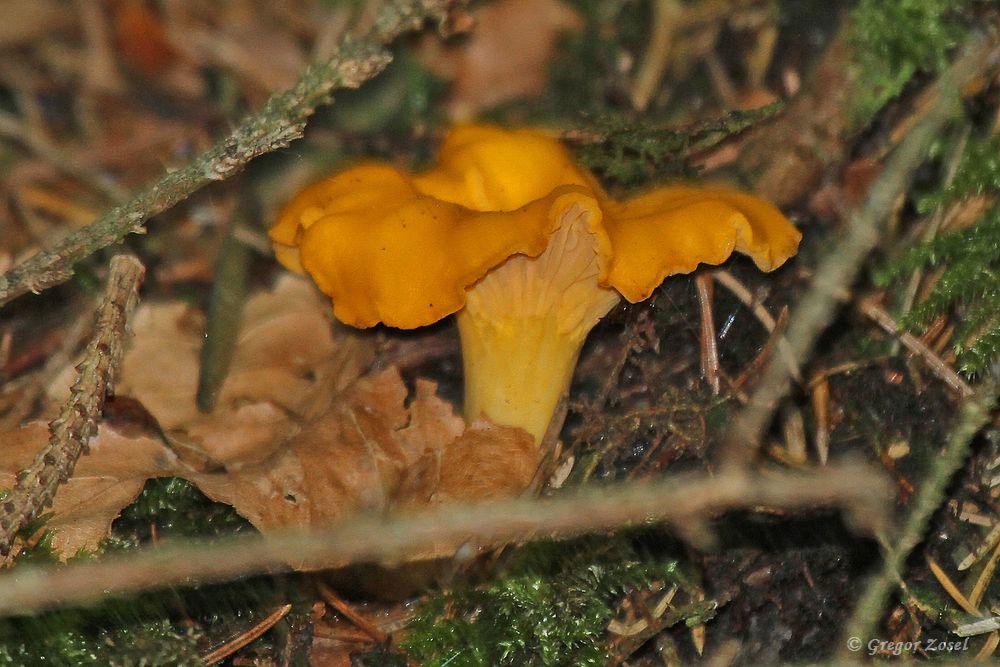 Meine letzten Pfifferlinge habe ich als Kind im Schwarzwald gesehen. Desto erfreulicher war ich über einen kleinen Bestand von ca.10 dieser Pilze, die in ihrem Bestand rückgängig sind.....am 21.07.17 Foto: Gregor Zosel