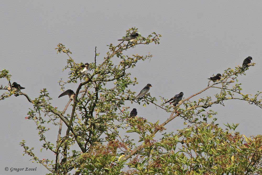 Aber auch die freistehenden Büsche auf den Wiesen werden gerne als Ruheplätze genutzt....am 26.07.17 Foto: Gregor Zosel