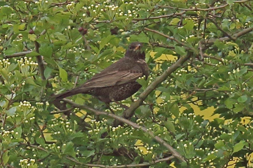 ... während wir in den Hemmerder Wiesen (wie bei diesem Vogel) wohl 2 Weibchen vor uns hatten, 25.04.2017 Foto: Bernhard Glüer