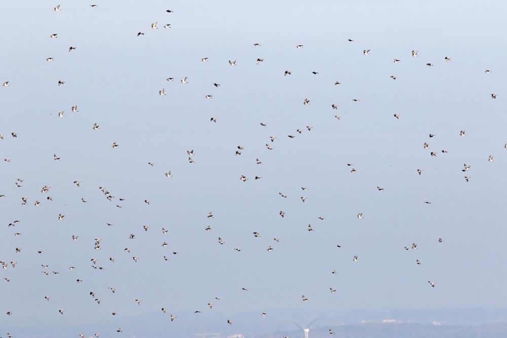 Heute blieben die erwarteten Zahlen an Ringeltauben leider aus. Während gestern noch einige Tausend Tauben über Fröndenberg hinwegzogen, blieben die heutigen Zahlen überschaubar .......am 14.10.17 Foto: Bernhard Glüer