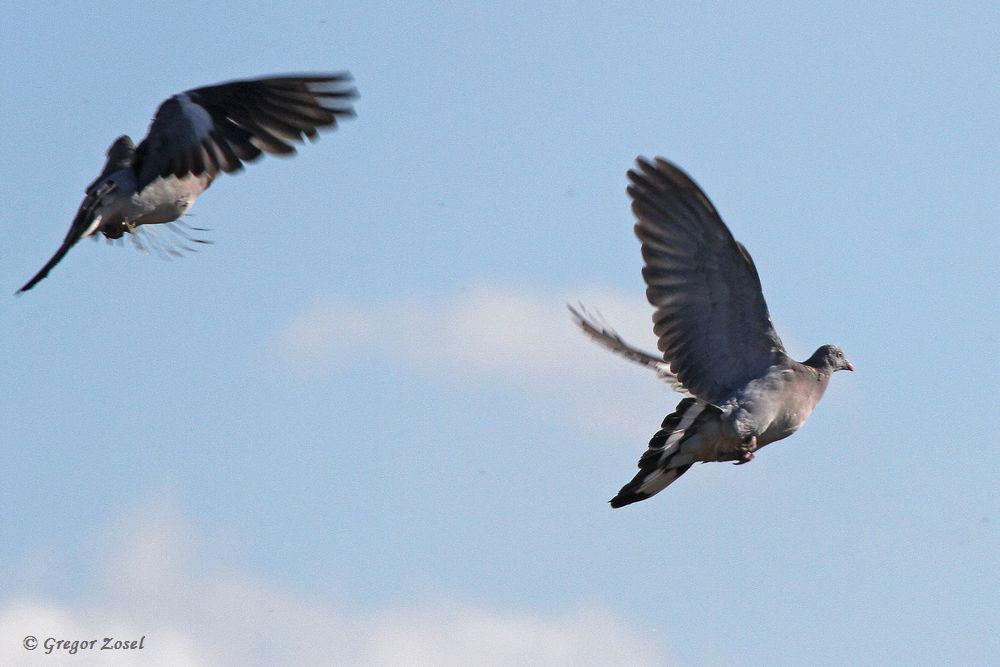 Flugstudie zweier Ringeltauben....am 14.10.17 Foto: Gregor Zosel