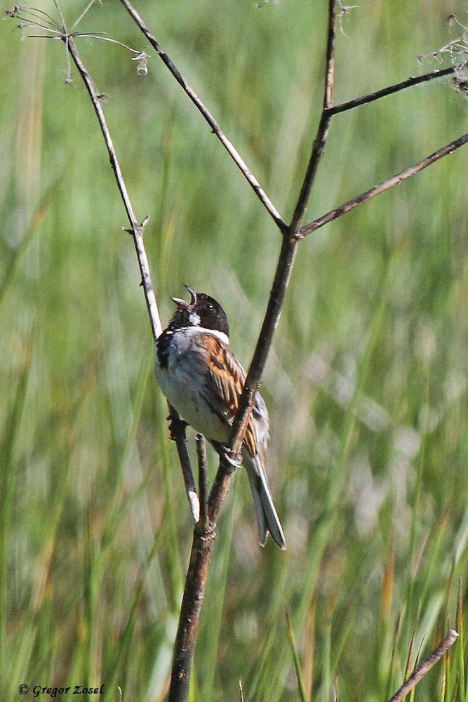 Unermüdlich singen die Rohrammern im Gebiet, während bei den anderen Singvögeln es ruhiger wird.....am 10.06.17 Foto: Gregor Zosel