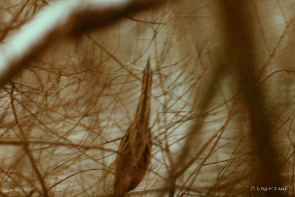 Im Winter 1981 gelang mir dieses unscharfe Foto der Rohrdommel am Ruhrufer der Kiebitzwiese. Analog und ohne Bildstabilisator mit einer russischen Zenit-Kamera ist es damals lediglich ein Belegfoto geworden.....am 02.07.17 Foto: Gregor Zosel
