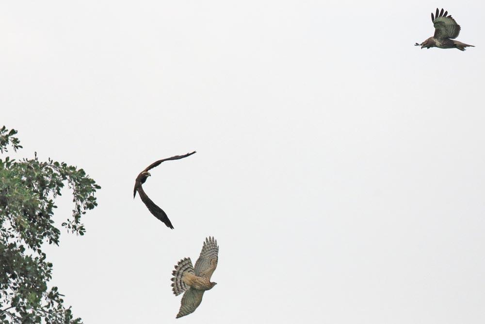 Mobbing unter Greifvögeln: ein diesjähriges Habichtweibchen attackiert eine diesj. Rohrweihe ..., 20.09.2017 Foto: Bernhard Glüer