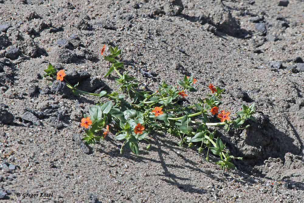 Der Sandhügel, der nun seit einigen Monaten dort angehäuft ist, wird nun auch von ersten Pionierpflanzen besiedelt, wie hier vom Roten Gauchheil....am 05.07.17 Foto: Gregor Zosel