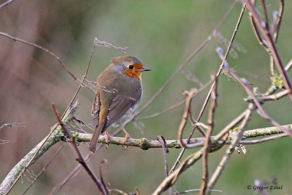 Bei 13° C Frühlingstemperaturen singt mir dieses Rotkehlchen, während im Hintergrund aus den Wohngebieten die Silvesterböller knallen, leise einige Gesangstrophen vor......am 31.12.17 Foto: Gregor Zosel