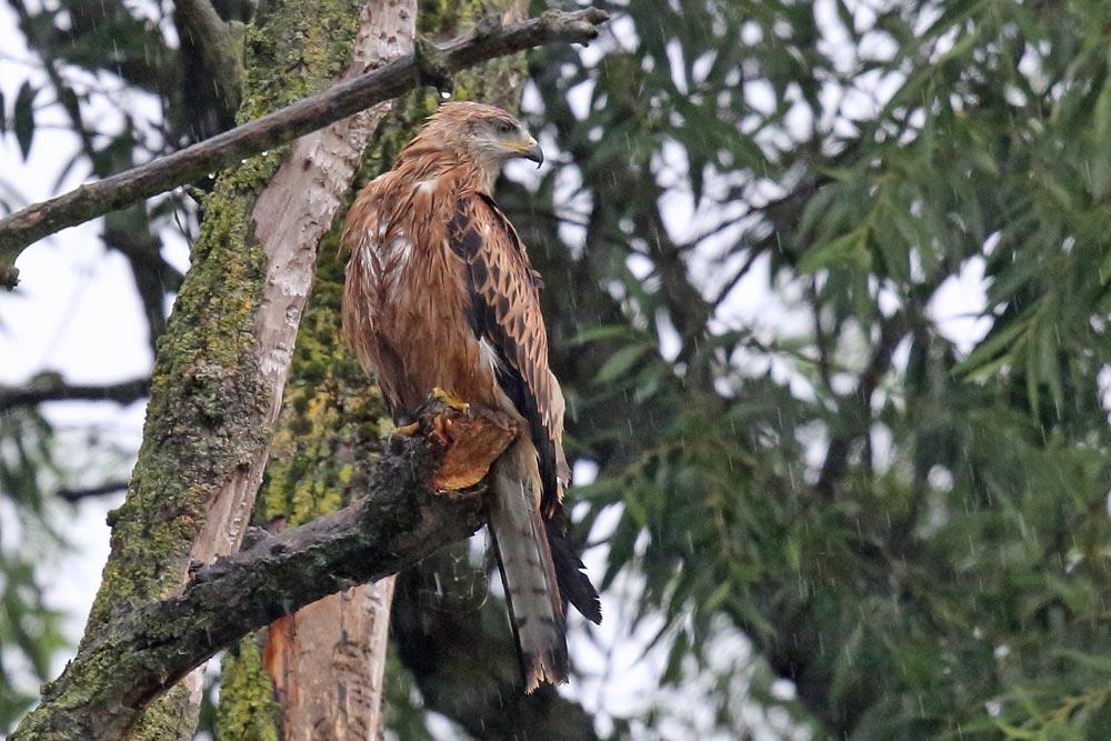 ... einer von zwei bereits flüggen Jungvögeln tut es ihm gleich..., 12.07.2017 Foto: Bernhard Glüer
