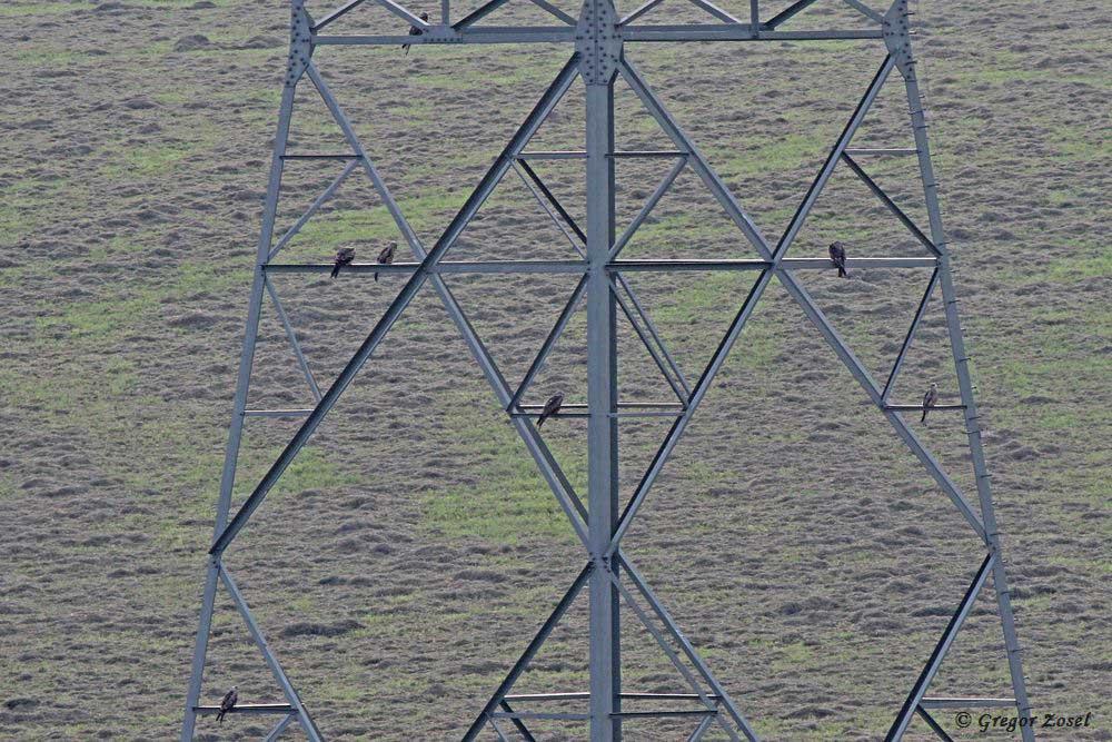 Auf diesem Hochspannungsmast an einer gemähten Wiese saßen heute vormittag 7 Rotmilane. Ein achtes Exemplar saß auf der besagten Wiese......am 25.08.17 Foto: Gregor Zosel