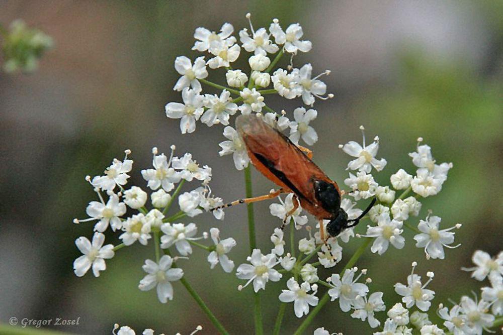 Die Rübsenblattwespe ist schön anzuschauen, aber die Raupen können zur richtigen Plage werden....am 09.07.17 Foto: Gregor Zosel
