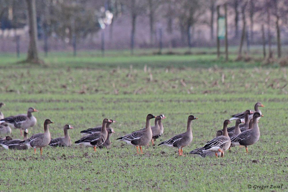 Gemischte Gruppe aus Saatgänsen, Blässgänsen und Graugänsen....am 26.12.17 Foto: Gregor Zosel