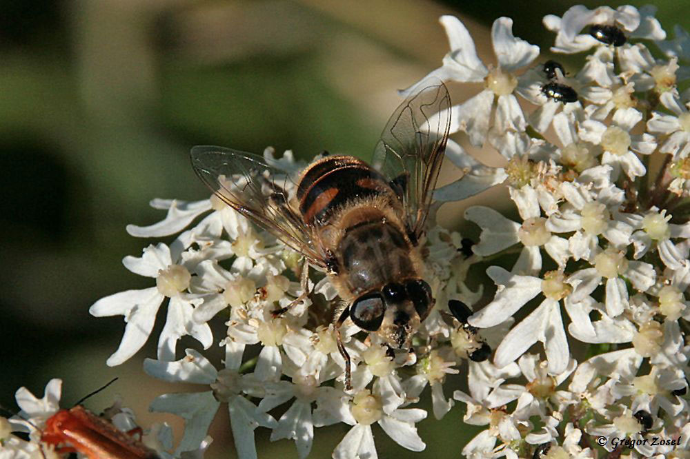 Scheinbienenkeilfleckschwebfliege (Eristalis tenax)  am Wegesrand......am 04.07.17 Foto: Gregor Zosel