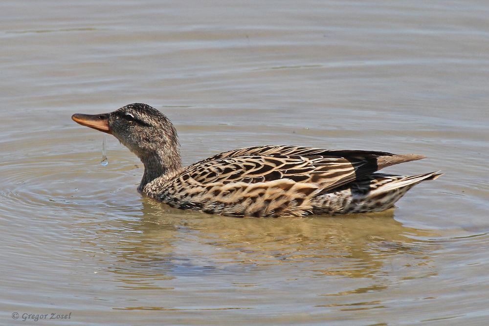 Das scheint dem Weibchen zu imponieren. Stolz und mit erhobenen Haupt schwimmt es dem Männchen hinterher...am 27.05.17 Foto: Gregor Zosel