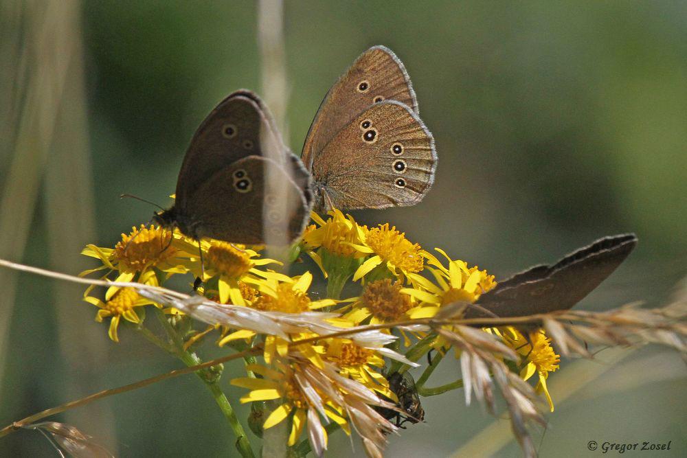 Der Schornsteinfeger ist in diesem Jahr erfeulicherweise auch oft mit mehreren Individuen gleichzeitig an einer Blüte zu sehen .....am 03.07.17 Foto: Gregor Zosel