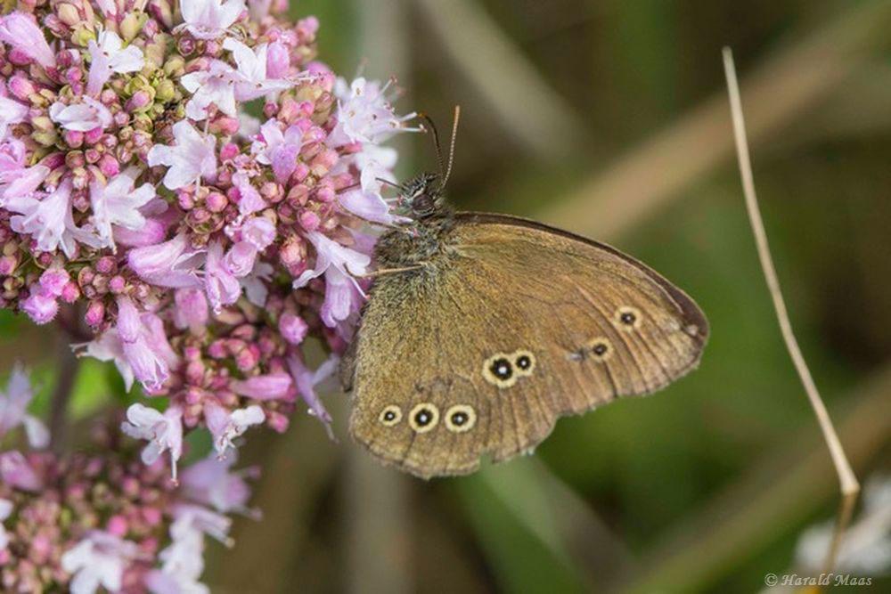 Der Schornsteinfeger zählte heute zu den häufigsten Schmetterlingsarten......am 08.07.17 Foto: Harald Maas