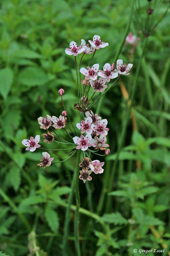 Sie gehört zu den schönsten Sumpfpflanzen.....am 04.07.17 Foto: Gregor Zosel