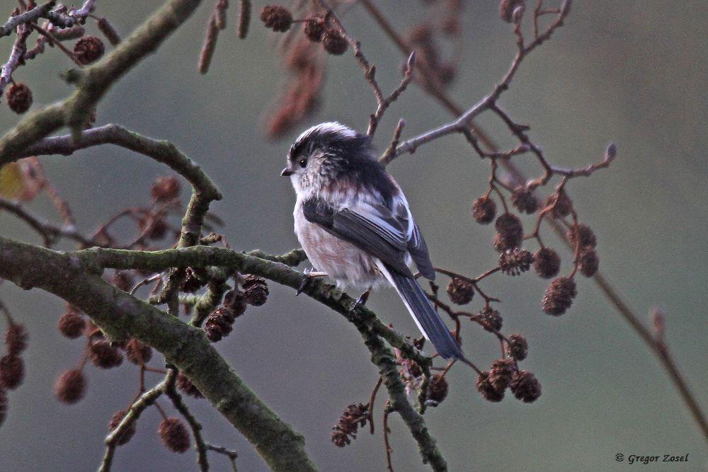 Bemerkenswert heute die große Zahl an Schwanzmeisen. Erfreulich auch die teilweise hohe Gruppengröße......am 04.11.17 Foto: Gregor Zosel