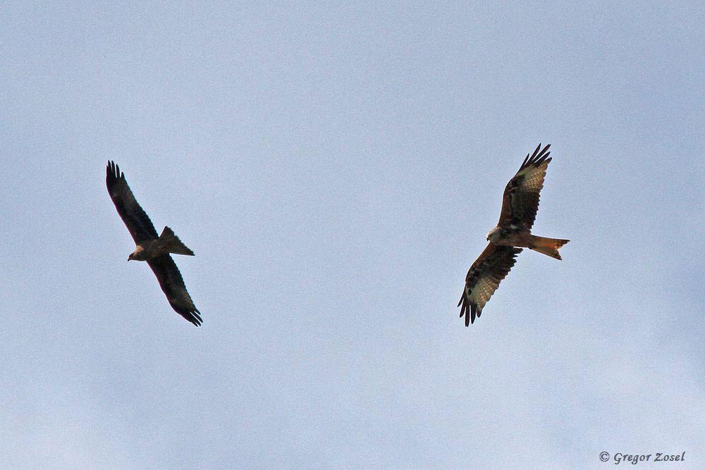 Schwarzmilan und Rotmilan kreisen übers Gebiet....am 26.07.17 Foto: Gregor Zosel