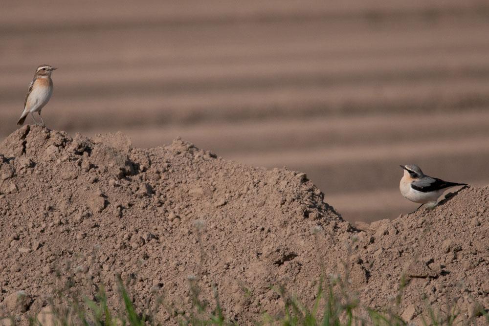 Der Zughöhepunkt scheint erreicht bei diesen beiden Arten, Braunkehlchen links im Bild und Steinschmätzer rechts, am 30.04.2017 Foto: Marvin Lebeus