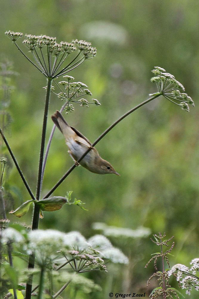 Die Sumpfrohrsänger haben ihre Brutsaison dagegen beendet. Die Jungvögel sind selbstständig und haben, wie ihre Eltern, teilweise schon mit dem Zug ins Winterquartier begonnen.....am 17.07.17 Foto: Gregor Zosel