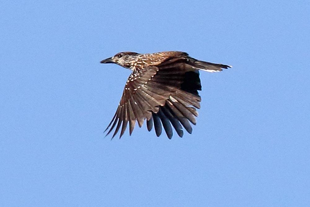 Dieser Tannenhäher war der Höhepunkt bei unserer heutigen Zugvogelerfassung.....am 14.10.17 Foto: Bernhard Glüer