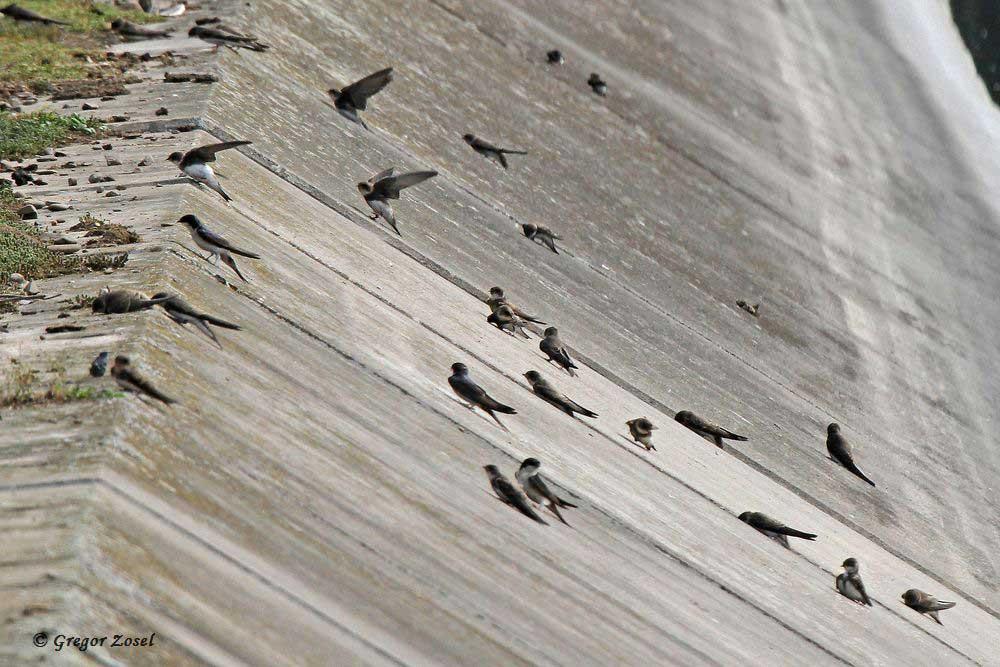 Die Betonwände der Filterbecken im Wasserwerk dienen der Schwalben,meist Uferschwalben, als Sonnenbank. Auch sammeln sie hier systematisch Fliegen ab....am 05.07.17 Foto: Gregor Zosel