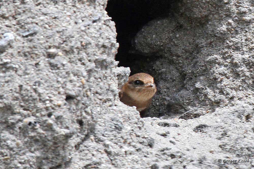 Während einige junge Uferschwalben bereits ihre Bruthöhle verlassen haben, wartet dieser Jungvogel am Höhleneingang auf seine Eltern, die hoffentlich eine ordentliche Portion Mücken mitbringen .....am 17.07.17 Foto: Gregor Zosel