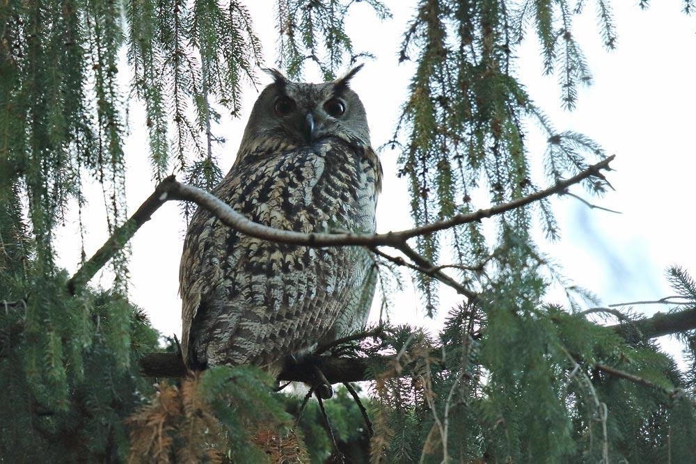 Uhu - `König der Nacht´ - macht bei Tage manchmal keine gute Figur, wenn die übrige Vogelwelt lautstark zeigt, was sie von ihm hält (nichts!), 17.11.2017 Foto: Bernhard Glüer