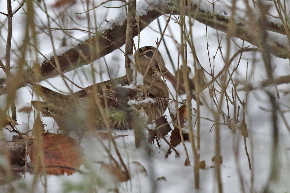 Seltenes Beobachtungsglück: Waldschnepfe mal nicht flüchtend oder vorbeifliegend..., 11.12.2017 Foto: Bernhard Glüer