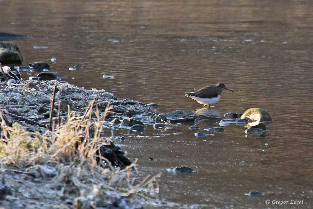 Auch dieser Waldwasserläufer hat den eisfreien Ufersaum der Kiesinseln in der Hönne als Nahrungsquelle entdeckt.....am 26.01.17 Foto: Gregor Zosel