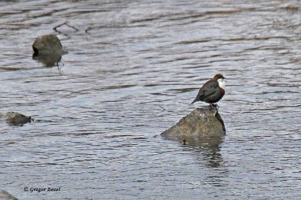 Wasseramsel singt im Mündungsbereich der Hönne.......am 10.01.17 Foto: Gregor Zosel